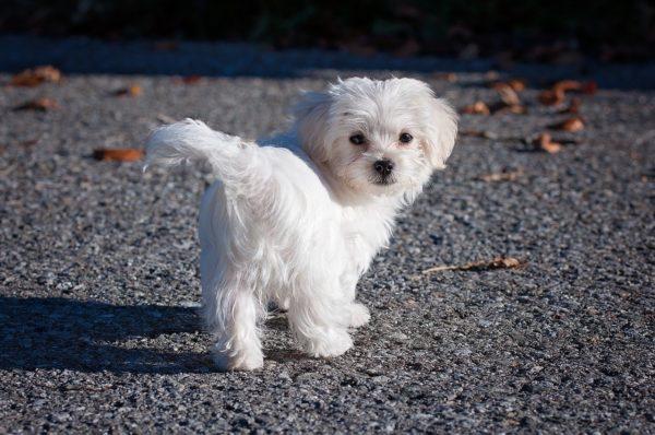 子犬のお散歩デビュー。いつからできるの?どうやって始めればいいの?